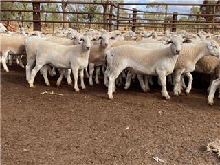 165 Future Breeder Ewe Lambs