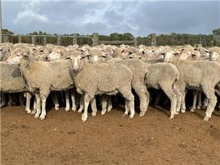 174 Future Breeder Ewe Lambs