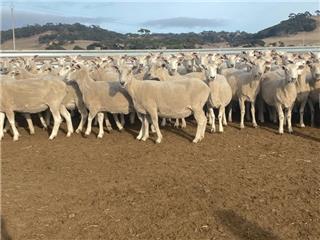 250 SIL Ewes
