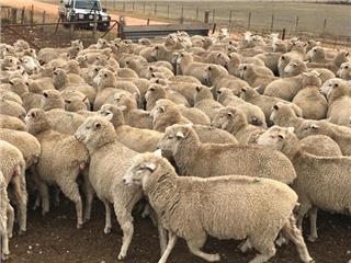 300 SIL Ewe Lambs