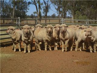 473 Store Wether Lambs