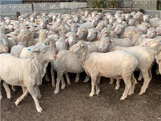 182 SIL Ewes