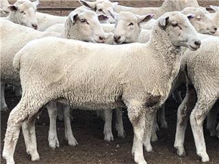 90 Future Breeder Ewe Lambs