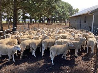 100 Ewe Lambs