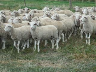 400 Ewe Lambs