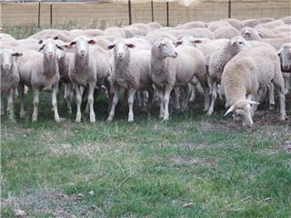 305 Wether Lambs