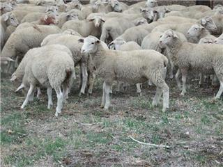 125 Wether Lambs