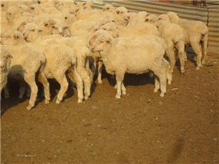 330 Ewe Lambs
