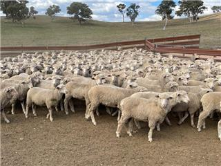 330 Mixed Sex Store Lambs