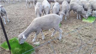 65 Ewes