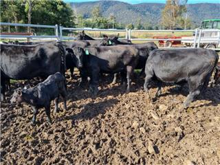 8 NSM Heifers & 8 Calves