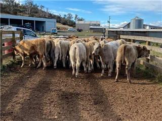 20 Weaned Steers