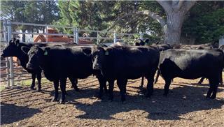14 NSM Heifers & 14 Calves