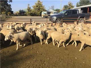 600 Mixed Sex Trade Lambs