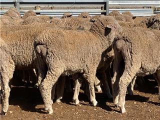 420 Wether Lambs