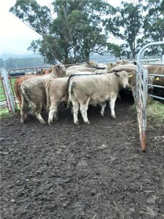 22 Weaned Steers