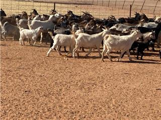 165 Goats