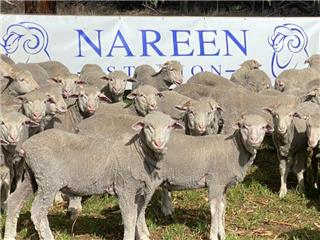 270 Store Wether Lambs