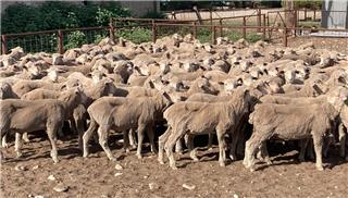 205 Store Wether Lambs