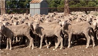 326 Store Wether Lambs