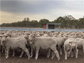425 Woolgrower Wether Lambs