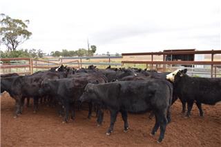 27 Backgrounder Heifers