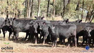 32 Heifers