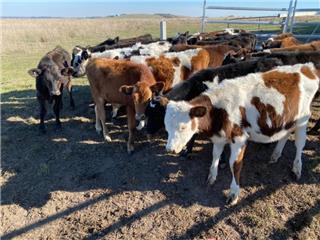23 Bull Calves