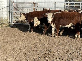 27 Weaned Steers