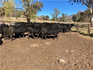 43 Weaned Steers