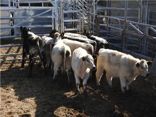 9 Weaned Steers