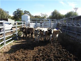 9 Weaned Heifers