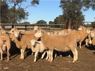 40 Ewes & 62 Lambs