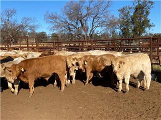 79 Unweaned Steers