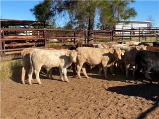 29 Unweaned Steers