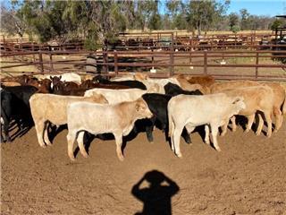 88 Unweaned Heifers