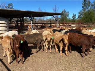 44 Unweaned Heifers