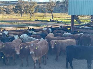 56 PTIC Heifers