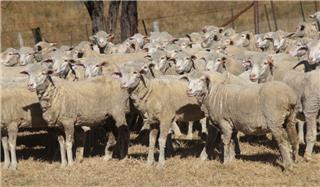 270 SIL Ewes
