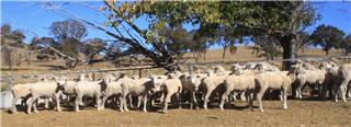 54 Station Mated Ewes