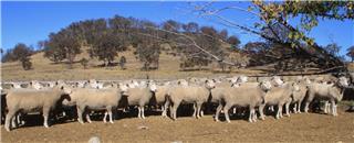 60 SIL Ewes