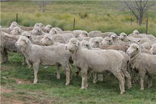 310 SIL Ewes
