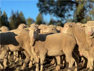 59 Station Mated Ewes
