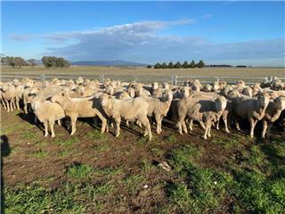 92 SIL Ewes