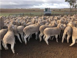 202 Ewe Lambs