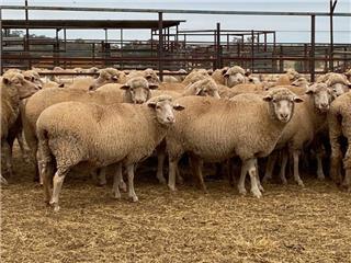 356 SIL Ewes