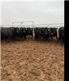 34 PTIC Cows