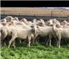 126 SIL Ewes