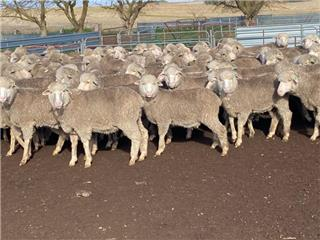 250 Wethers