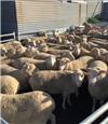 190 Station Mated Ewe Lambs
